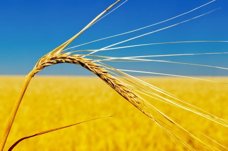 one golden ear of wheat  soft focus photo