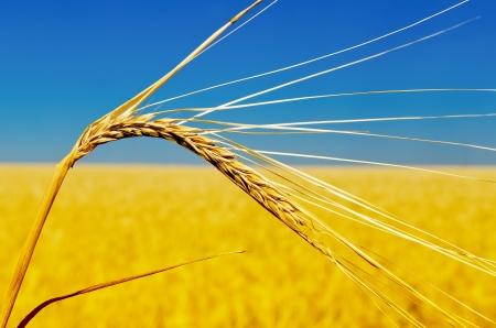 espiga de trigo: una oreja de oro de foco suave trigo Foto de archivo