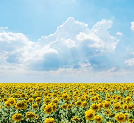 cloudy sky over field with sunflowers photo