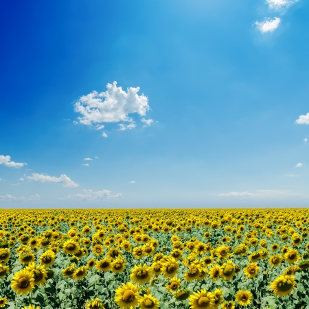 sunflowers field and white clouds on blue sky photo