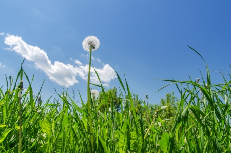 dandelion in green grass field and blue sky photo