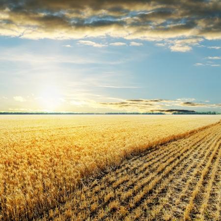 barley field: sunset over wheat field