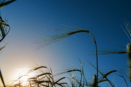 green barley and sunset photo
