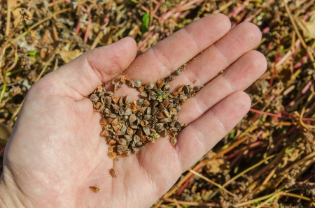agronomics: buckwheat in hand over field
