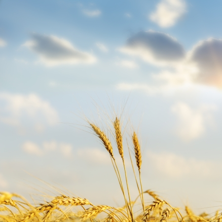 sunset over golden harvest. soft focus Stock Photo - 16218557