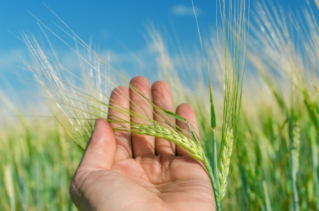 agronomist: green ear of wheat in hand