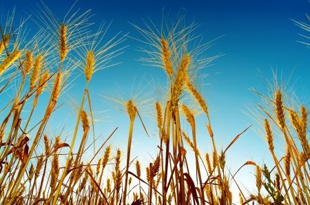 harvest field: sunset over harvest field