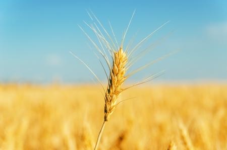 agro: golden harvest over field. soft focus