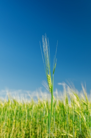 green barley and blue sky. soft focus