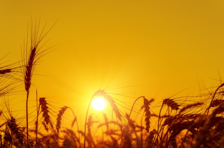 wheat fields: golden sunset over harvest field in summer Stock Photo
