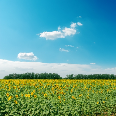 field with sunflowers and clouds in sky photo