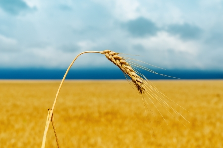 one golden ear of wheat. soft focus. rainy weather Stock Photo - 16948059