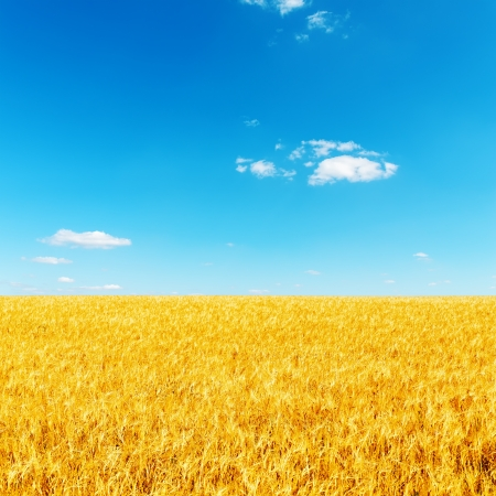 golden barley under deep blue sky photo