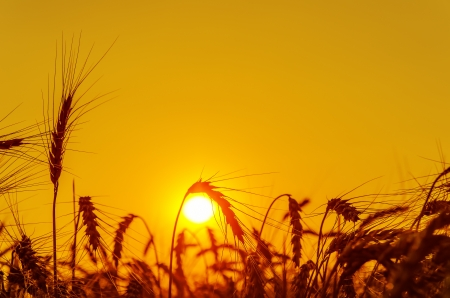 sun over grain field in summer photo