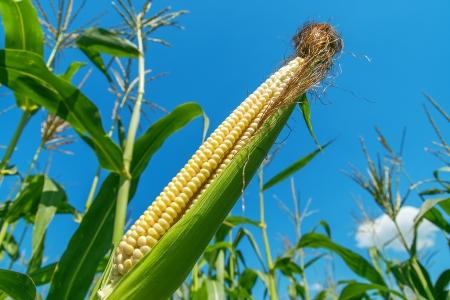 planta de maiz: maíz crudo en el campo Foto de archivo