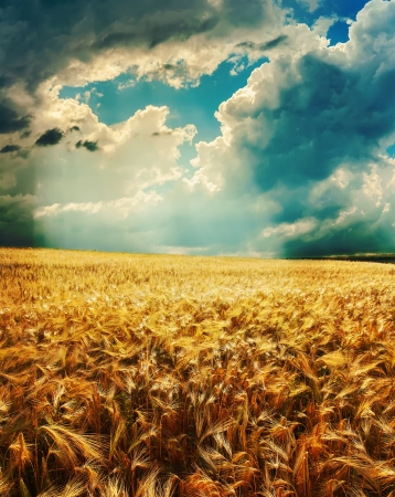 dramatic sky over golden field photo