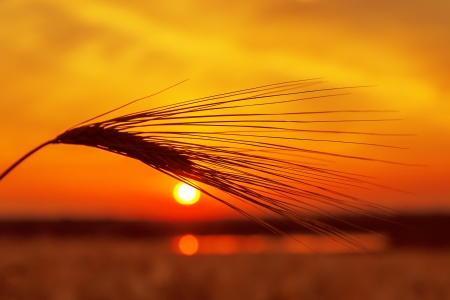 red sunset over field with wheat and pond photo