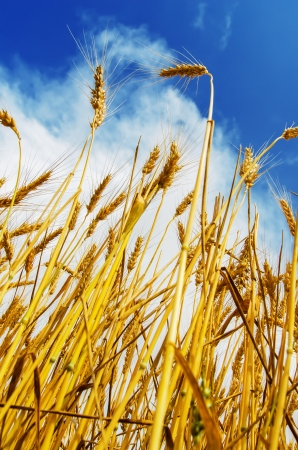 wheat field and blue sky with clouds Stock Photo - 18006155