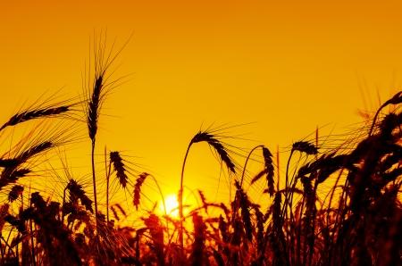 sun over grain field in summer photo