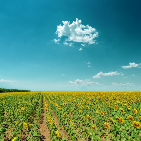 field with sunflowers under cloudy sky photo