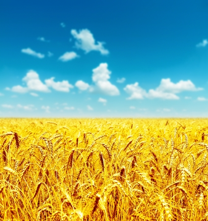 field of golden wheat under cloudy sky photo