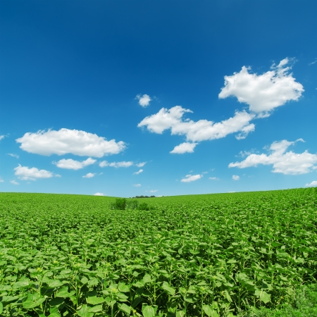 field with green sunflowers under deep blue sky photo