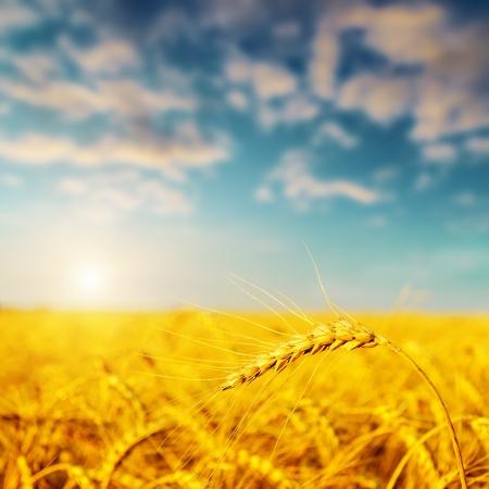 espiga de trigo: la cosecha de oro en la puesta del sol. enfoque suave en la parte inferior de la imagen