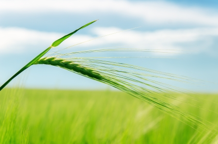 spica: verde espiga sobre un campo de enfoque suave
