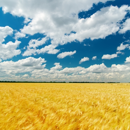 harvest field: cloudy sky over field with golden harvest Stock Photo