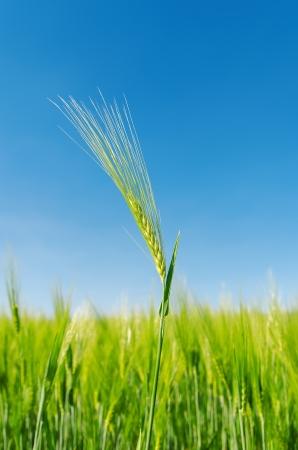 spica: verde espiga sobre el campo. enfoque suave
