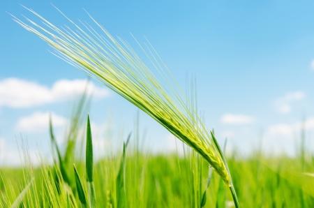 spica: espiga verde en el campo. enfoque suave