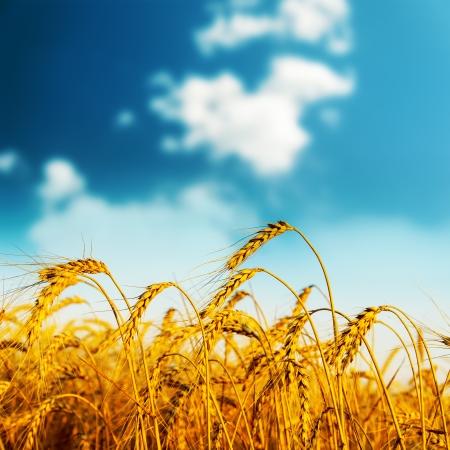 corn fields: golden harvest on sunset  soft focus Stock Photo