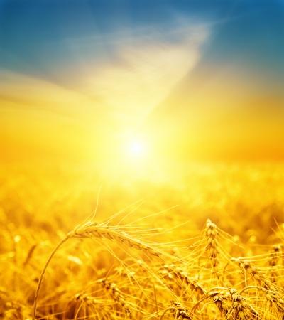 goede zonsondergang over gouden oogst. soft focus