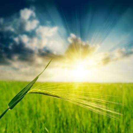spica: espiga verde bajo la puesta de sol