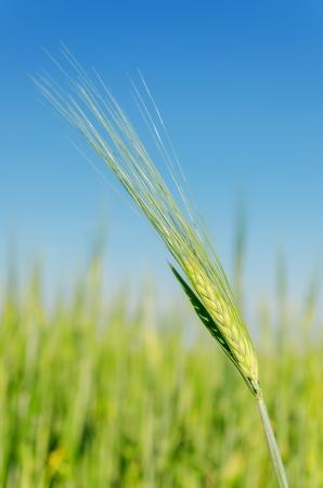spica: espiga verde en el campo bajo el cielo azul