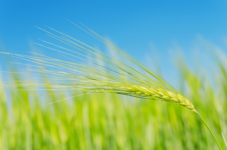 green wheat: green spica over field. soft focus Stock Photo