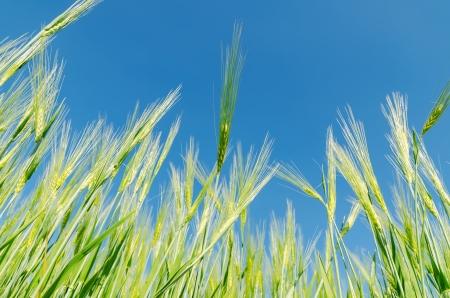 blue sky over green barley photo