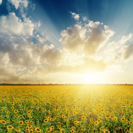 cloudy sunset over field with sunflowers Stockfoto