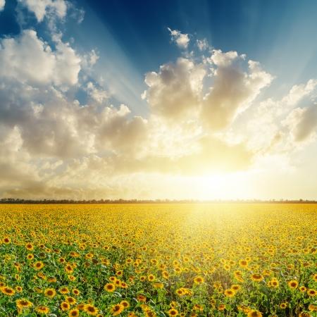 champ de fleurs: coucher de soleil nuageux sur le terrain avec des tournesols