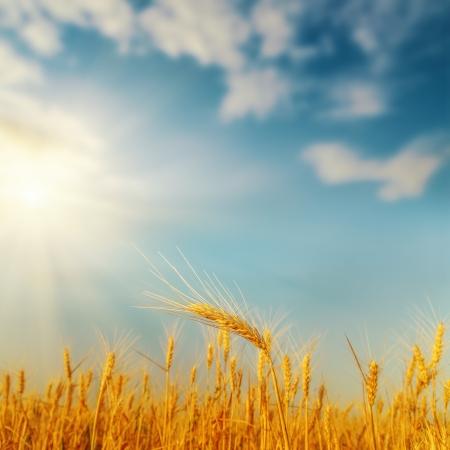 golden harvest on field and sunset. soft focus Foto de archivo