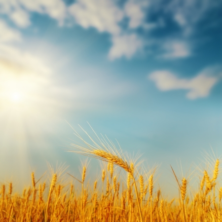 golden harvest on field and sunset. soft focus Archivio Fotografico