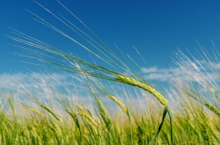 spica: campo con la espiga verde bajo el cielo azul