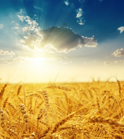 horizon over land: sunset over field with golden harvest