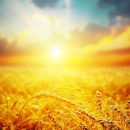 夕日で黄金の収穫。ソフト フォーカス