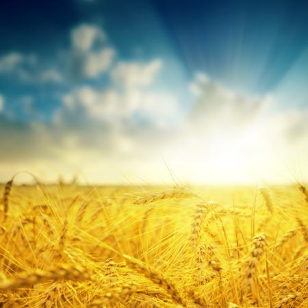 barley close up and sunset. soft focus photo