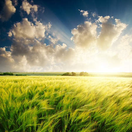 sunset over green field with barley Stock Photo