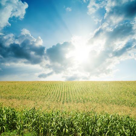 verdunkeln: Sonne verdunkeln niedrigen Wolken �ber Feld mit gr�nem Mais