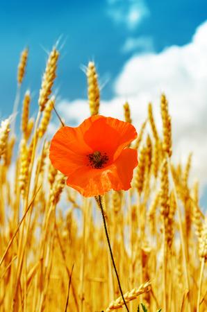 red poppy in golden harvest under blue sky photo
