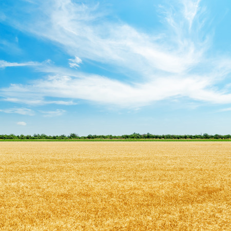 sunshine background: golden field with harvest under clouds in blue sky