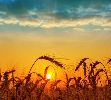 夕暮れ時の収穫とフィールド 写真素材
